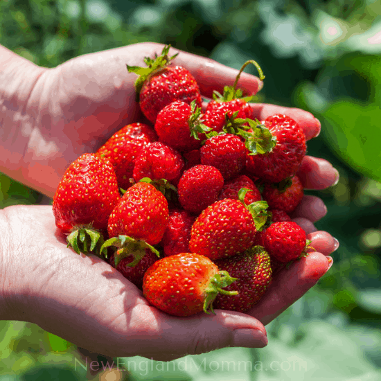 A handful of fresh pick your own strawberries