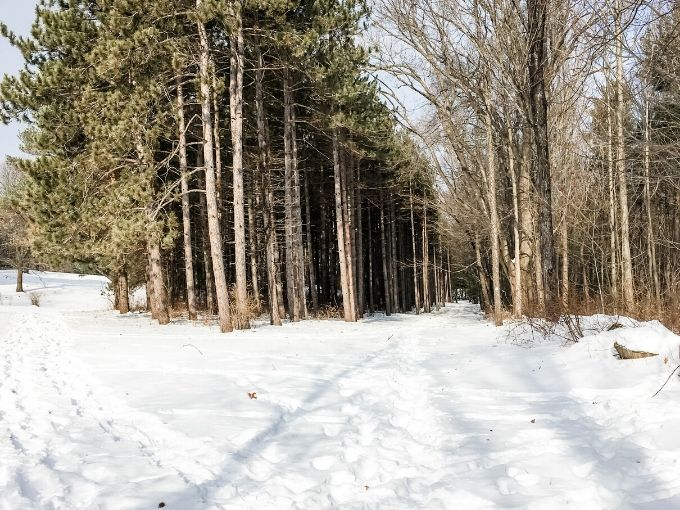 a snowshoe path through the woods with tall pines and snow
