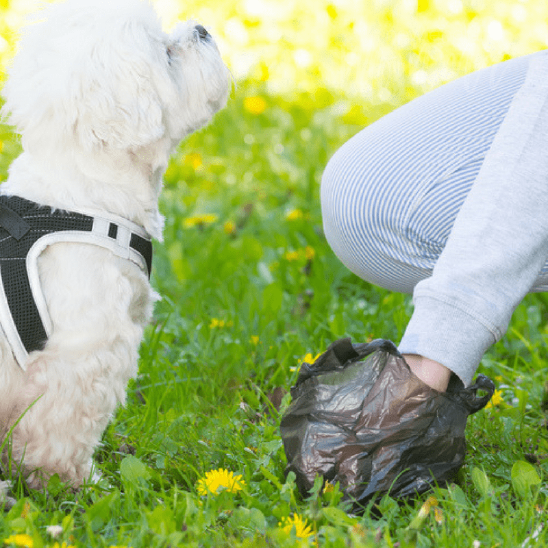 A little dog looking up to it's owner while owner is picking up dog poop.
