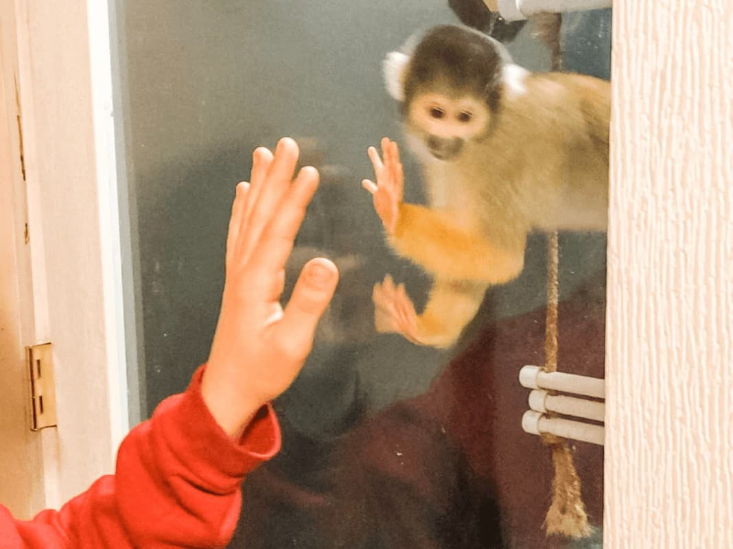 looking like a boy is giving a monkey a high five