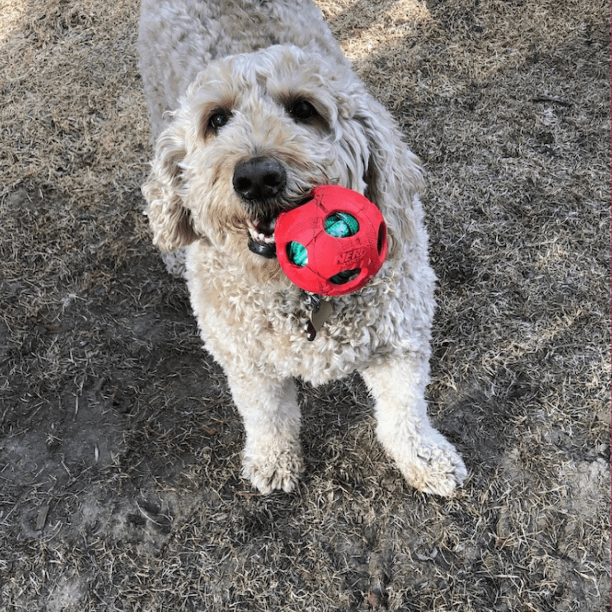 golden doodle with a red ball in her mouth