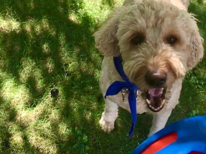 goldendoodle dog playing fetch with a flying disc