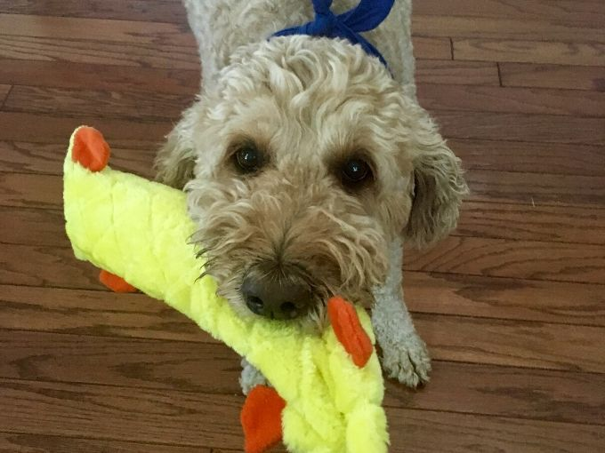 goldendoodle dog biting on a toy