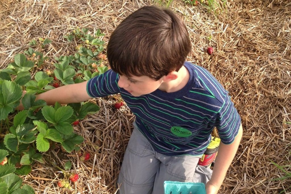 boy kneeling down at a Pick Your Own strawberries farm