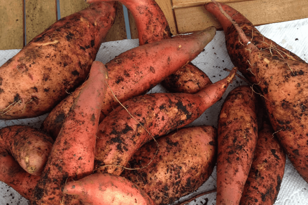 A pile of organic sweet potatoes just pulled from the garden