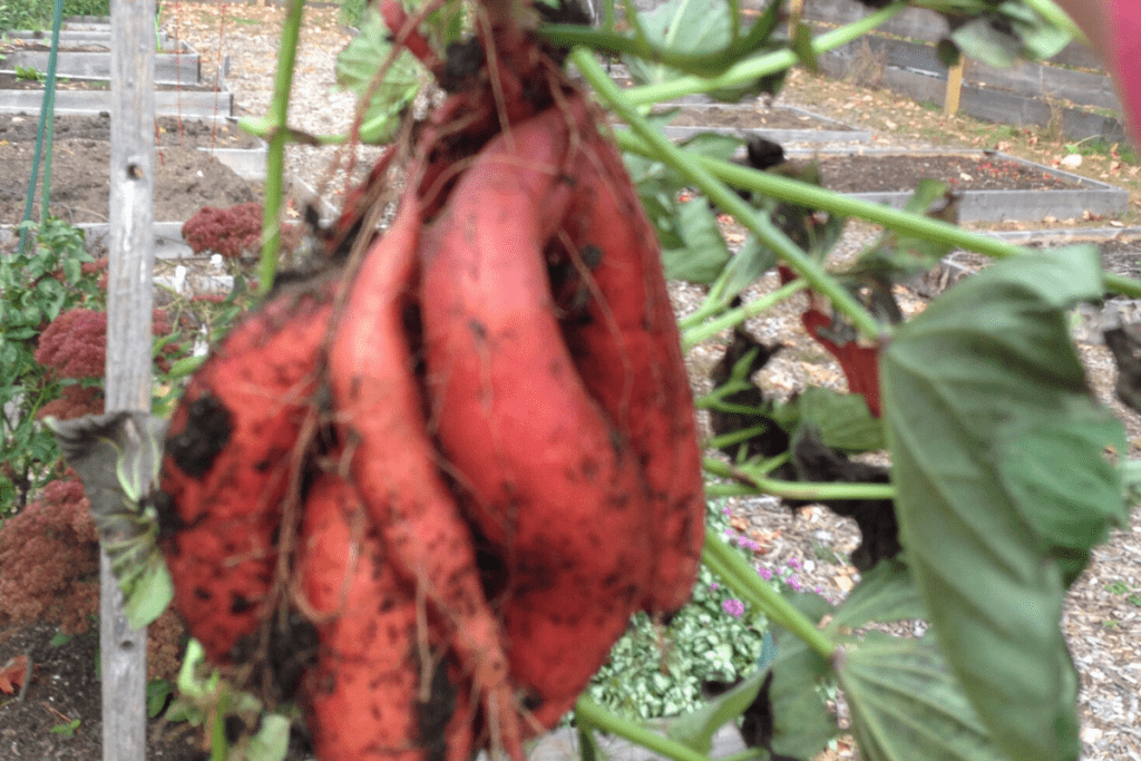 a bunch of skinny sweet potatoes on a vine with dirt