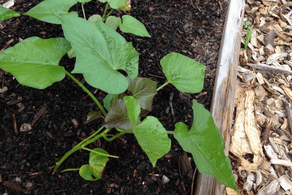 sweet potato growing in the garden