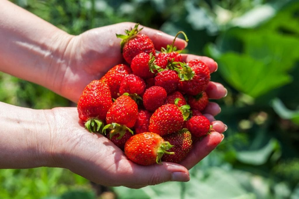 Woman hands holding a bunch of ripe red strawberries