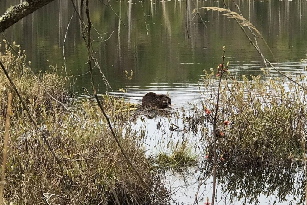 A beaver at work in the Quincy Bog