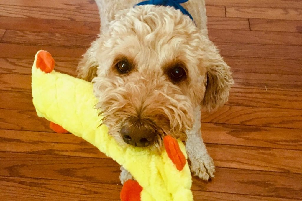 A goldendoodle holding a yellow stuffed toy in her mouth ready to play