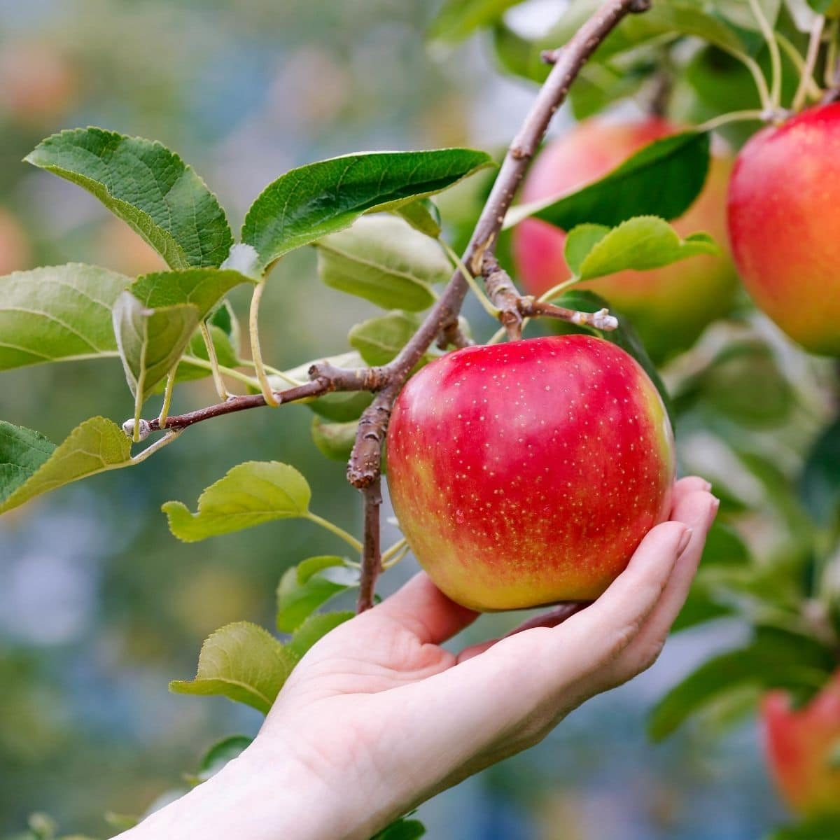 a hand reaching up and picking a red apple from a tree