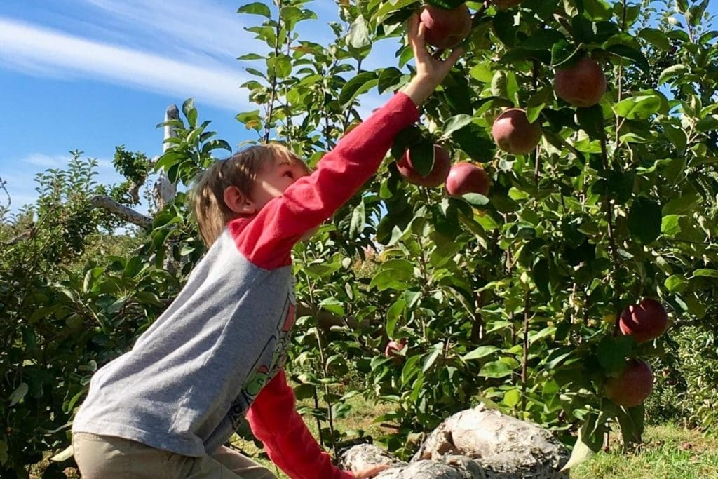 Boy climbing up to pick apples from a tree.