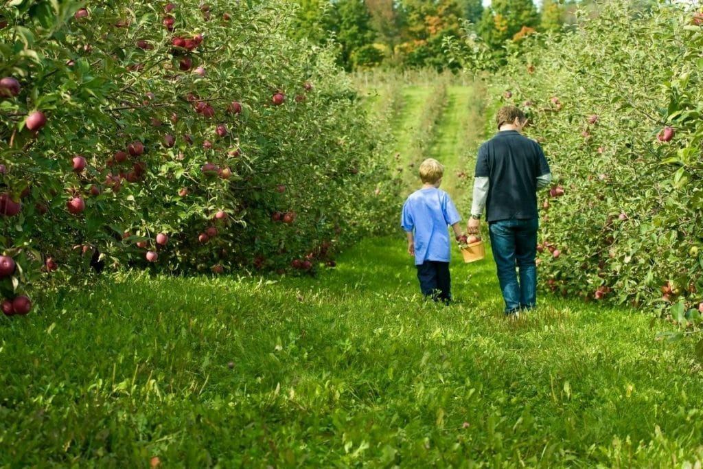 Dad and son walking through an apple picking farm in Massaachusetts
