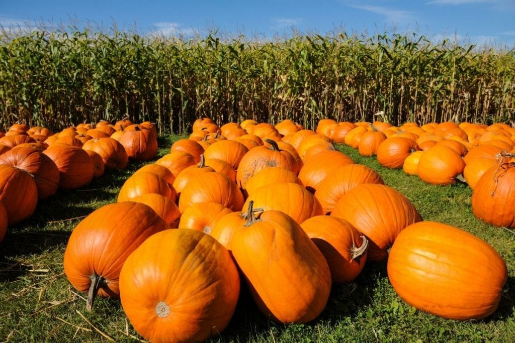 Rows of big round orange pumpkins with cornstalks behind them