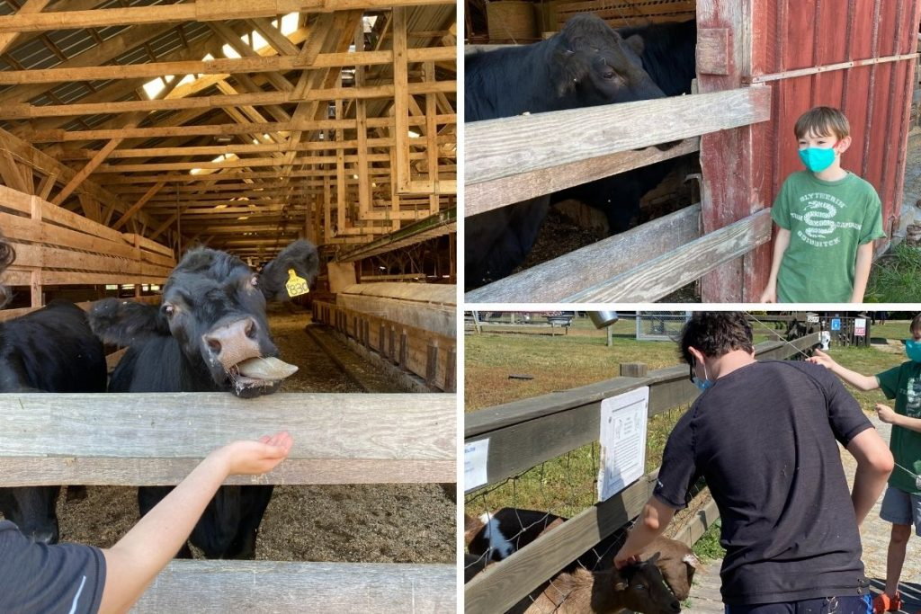 Boys feeding farm animals such as a cow and goat at the Ioka Valley Farm in the Berkshires.